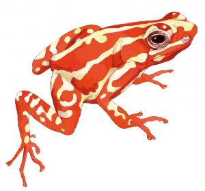 Anthony's – gifkikker Anthony's poison arrow frog