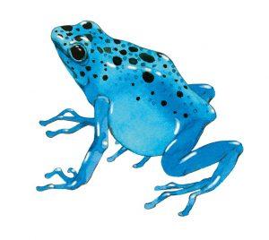 Blauwe pijlgifkikker – Blue poison dart frog