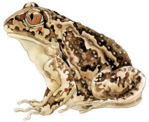 Knoflookpad-Garlic-toad.jpg