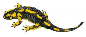 Vuursalamander – Fire salamander