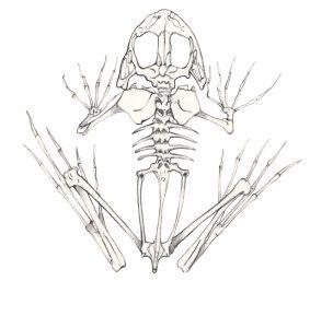 Kikkerskelet – Frog skeleton