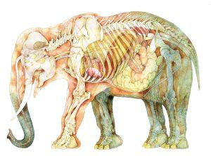 Olifant inwendig – Elephant entrails