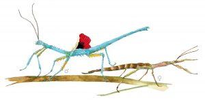Blauwe wandelende tak – Blue stick insect