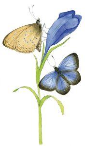 Gentiaanblauwtje – Alcon blue