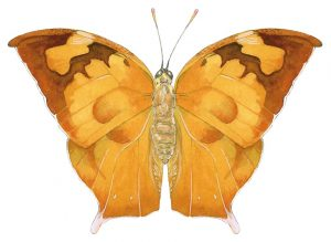 Memphis eurypyle – Pointed leafwing