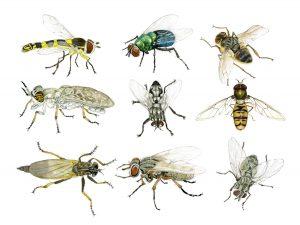 Vliegen – Flies