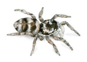 Zebraspin – Zebra back spider