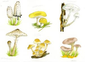 Paddenstoelen – Mushrooms