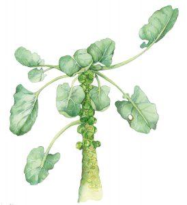 Spruiten – Brussels sprouts