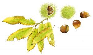 Tamme kastanje – Sweet chestnut