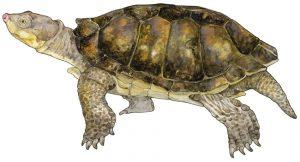 Afrikaanse moerasschildpad – Helmeted turtle