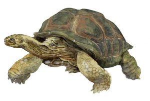 Aldabra reuzenschildpad – Aldabra giant tortoise
