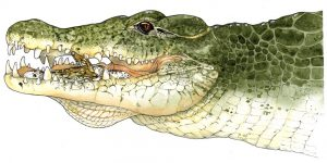 Nijlkrokodil met jongen – Nile crocodile with young