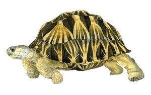 Madagaskarstralenschildpad – Radiated tortoise