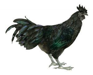 Ayam cemani – Ayam cemani