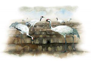 Europese kraanvogels – European cranes