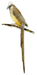 Bruine muisvogel – Speckled mousebird