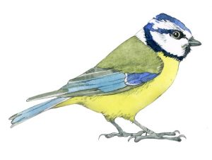 Pimpelmees – Blue tit