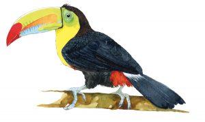 Zwavelborsttoekan – Keel-billed toucan