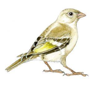 Vink – Finch