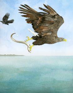 Visarend – Osprey
