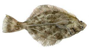 Bot – Flounder