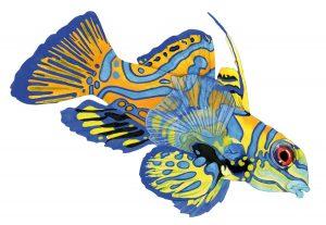 Mandarijnvis – Mandarinfish