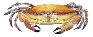 Noordzeekrab – Edible crab