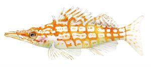 Spitssnuitkoraalklimmer – Longnose hawkfish