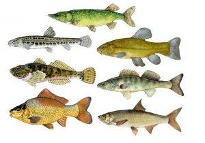 Zoetwatervissen – Freshwater fish