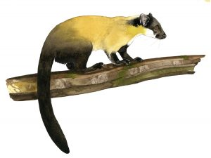 Maleise bonte marter – Yellow-throated marten