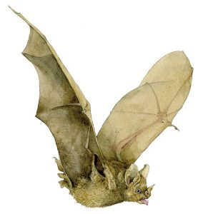 Brilbladneusvleermuis – Seba's short-tailed bat