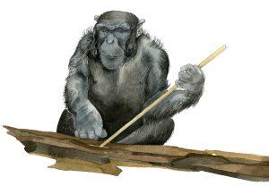 Chimpansee – Chimpanzee