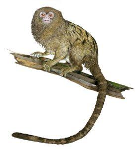 Dwergoeistiti – Pygmy marmoset