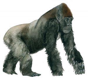 Gorilla man – Gorilla male