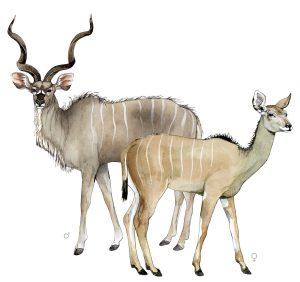 Grote koedoe – Greate kudu
