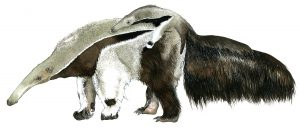 Grote miereneter met jong – Giant anteater with young