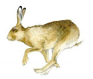 Haas – Hare