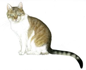 Huiskat – Domestic cat