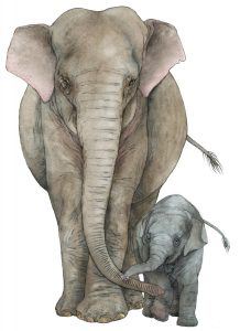 Indische olifant – Indian elephant