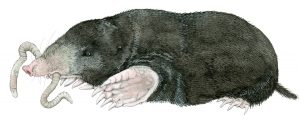 Mol – Mole