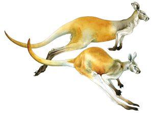 Rode reuzenkangoeroe – Red kangaroo