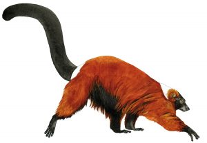 Rode vari – Red ruffed lemur