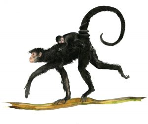 Zwarte slingeraap – Red-faced spider monkey